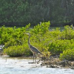 A heron in Spittal Pond