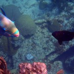 Yellow Tail Damsel Fish and Parrot Fish